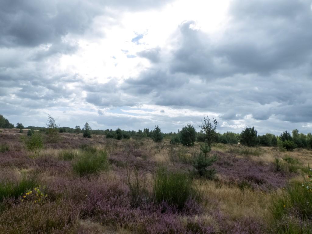 Die Heide blüht am Zochauer Heidepfad