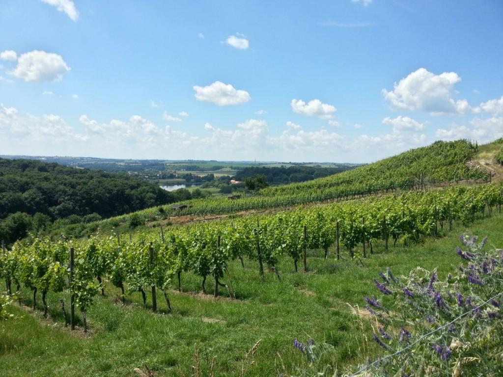Blick über die Weinberganlage auf der Goldkuppe