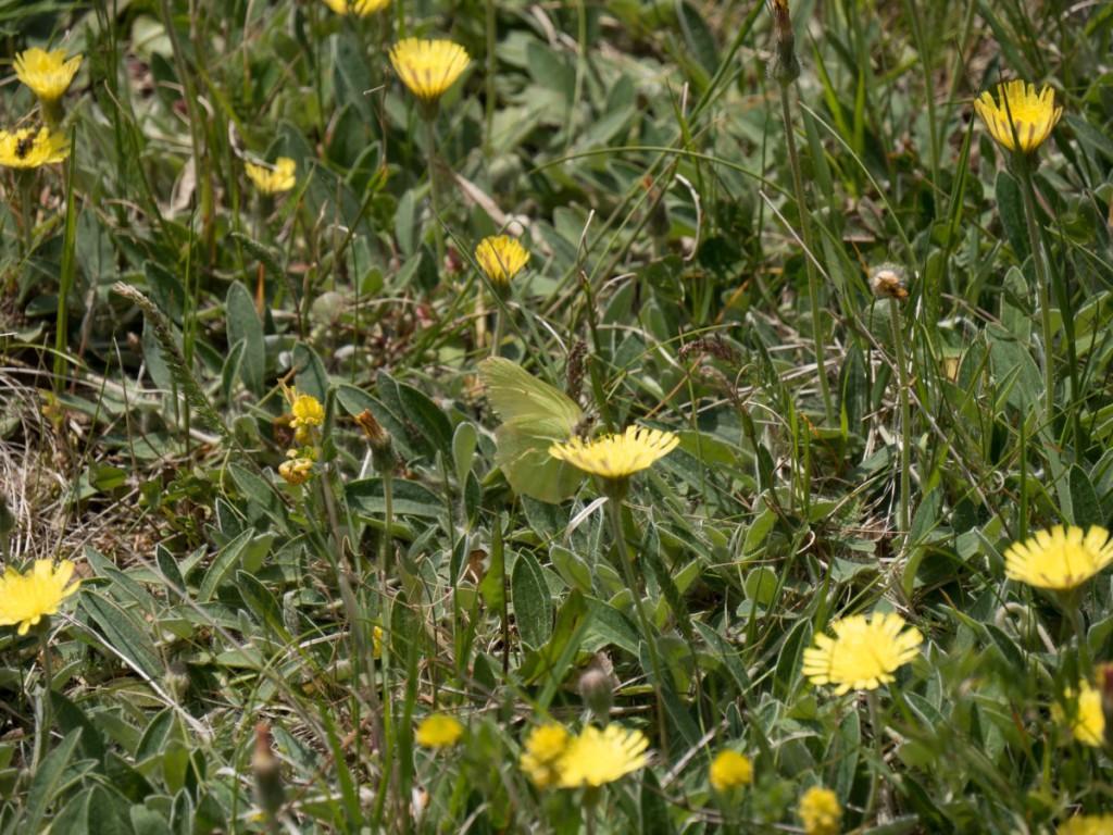 Gonepteryx rhamni-Zitronenfalter