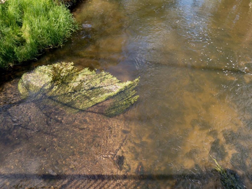 Ranunculus aquatilis-Wasserhahnenfuß