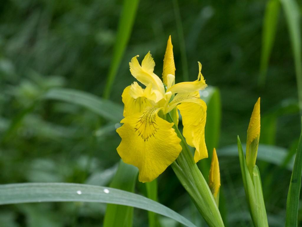 Eine Sumpf-Schwertlilie