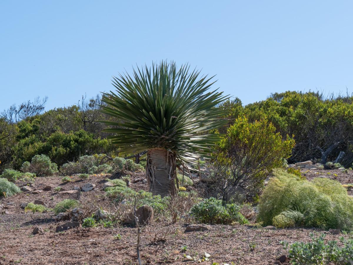 Ein Drachenbaum am Famara-Kliff