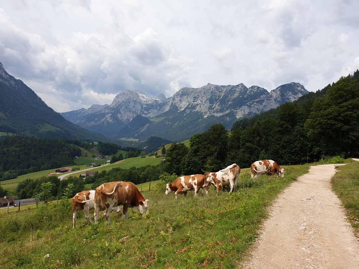 Kühe am Soleleitungsweg