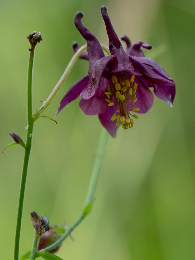 Schwarzviolette Akelei