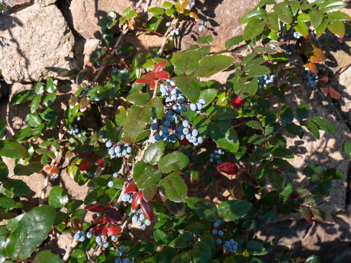 Zum Abschluss eine Pflanzenansicht - Gewöhnliche Mahonie, Stechdornblättrige Mahonie