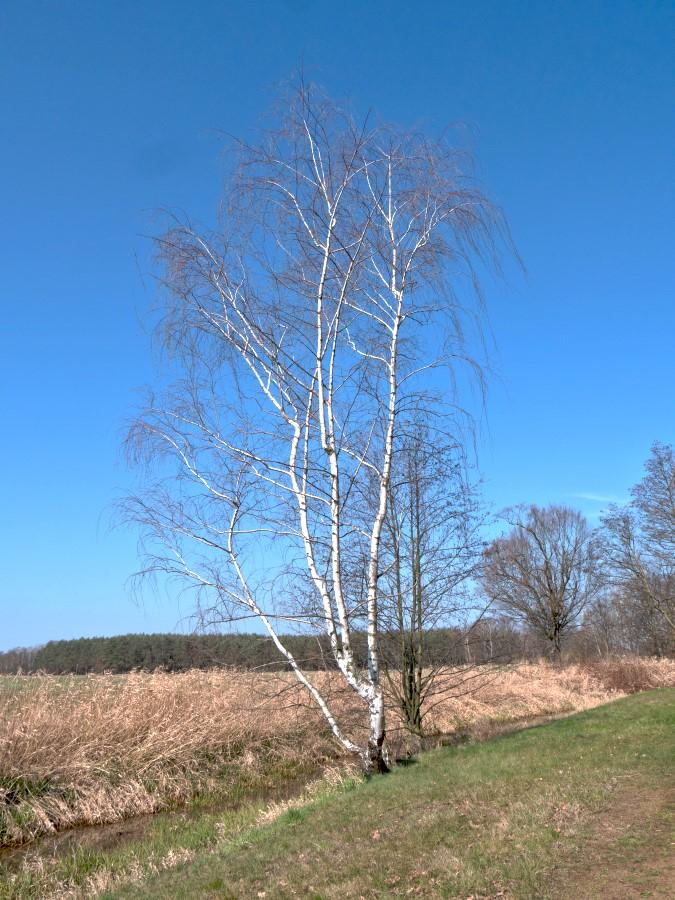 Hänge-Birke am Heidewiesenbach