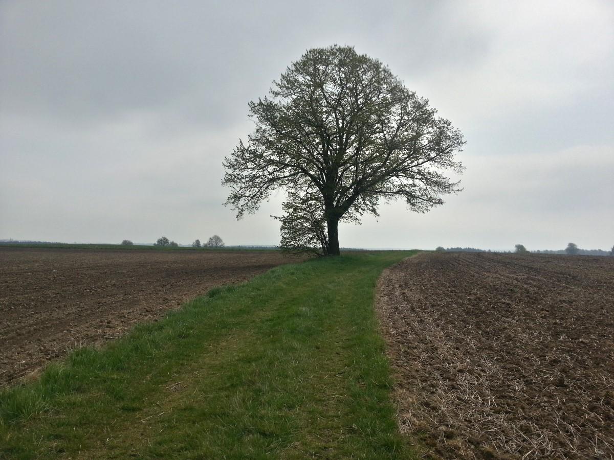 Linde am Hermsdorfer Weg