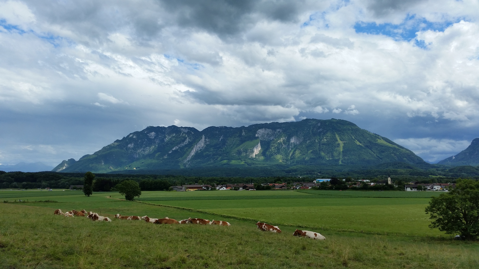 Kühe vorm Untersberg
