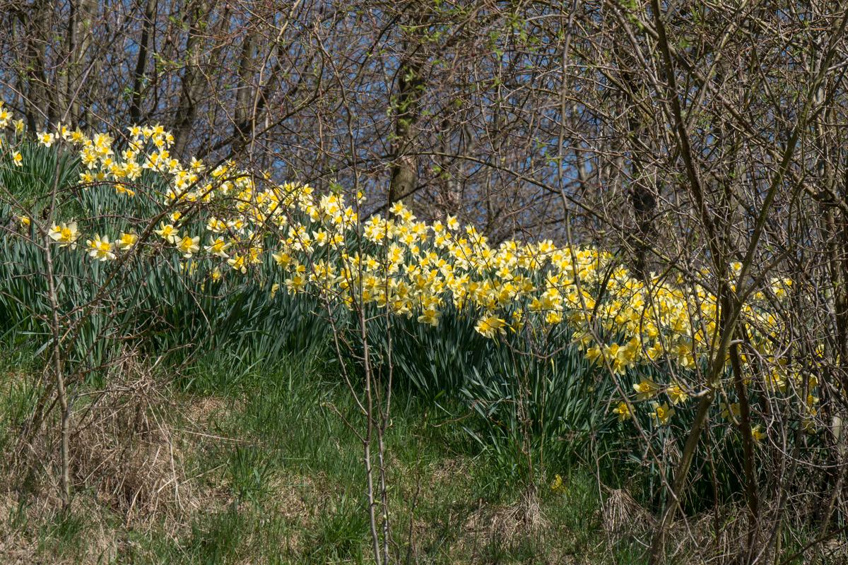 Auch in Waldstücken waren viele gelbe Narzissen zu sehen.
