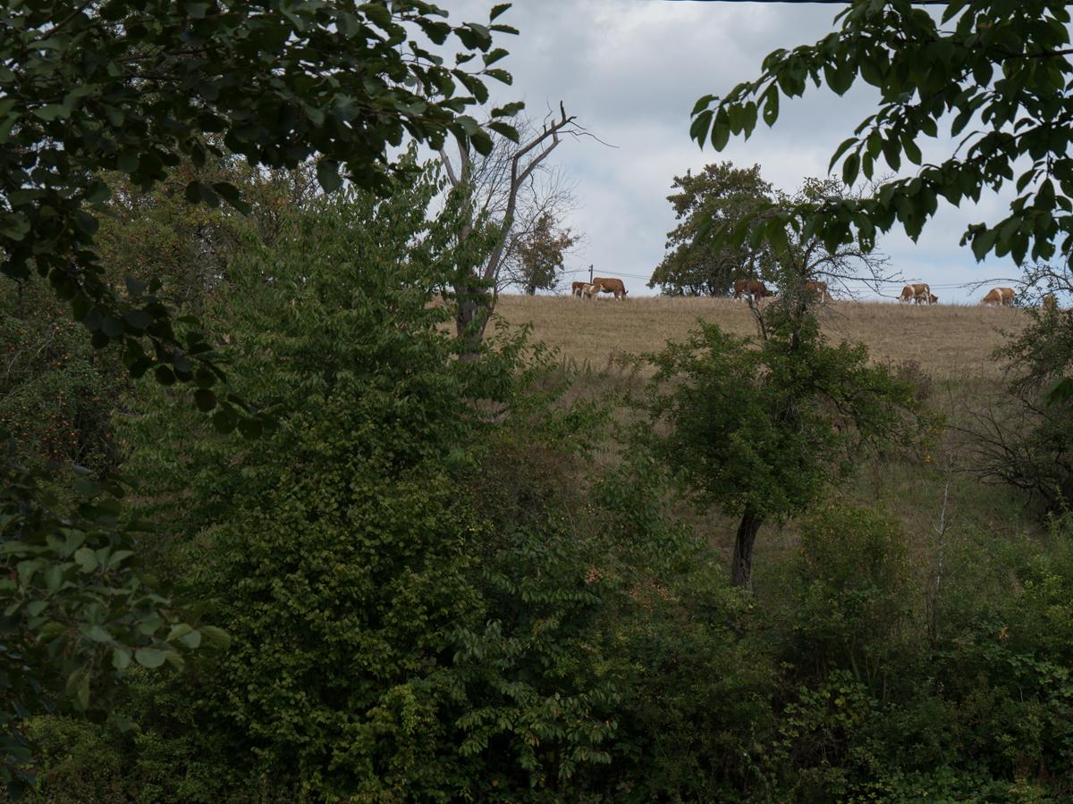 Höhen-Kühe