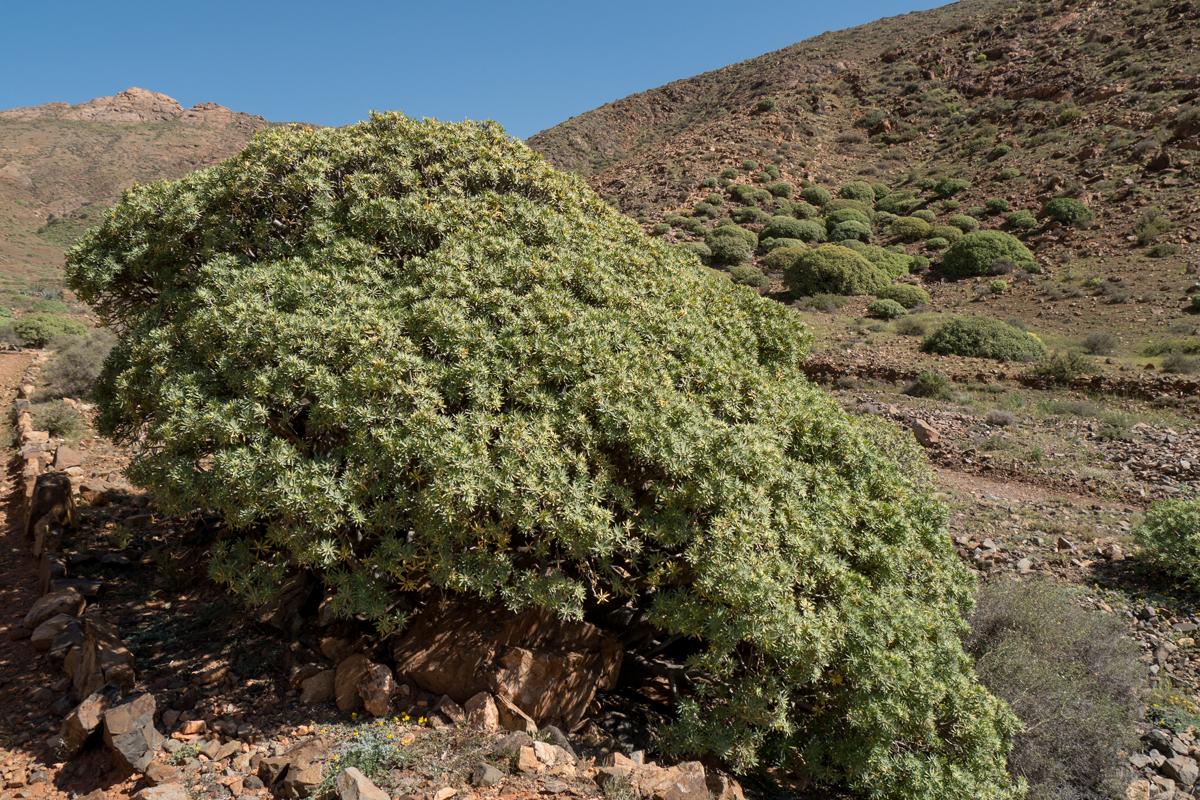 Ein großes Exemplar der Balsam-Wolfsmilch