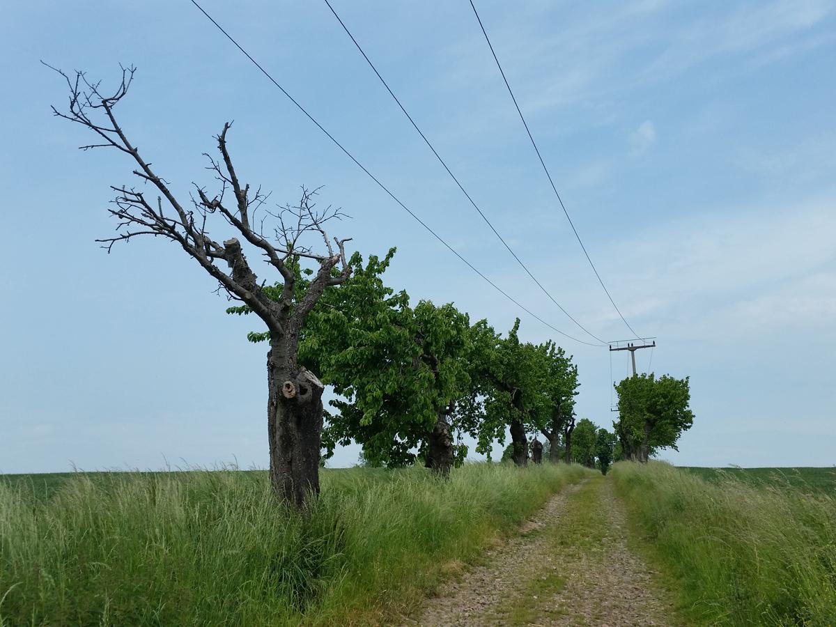 Aufwärts zu den Polenzer Linden entlang einer Kirschbaumallee