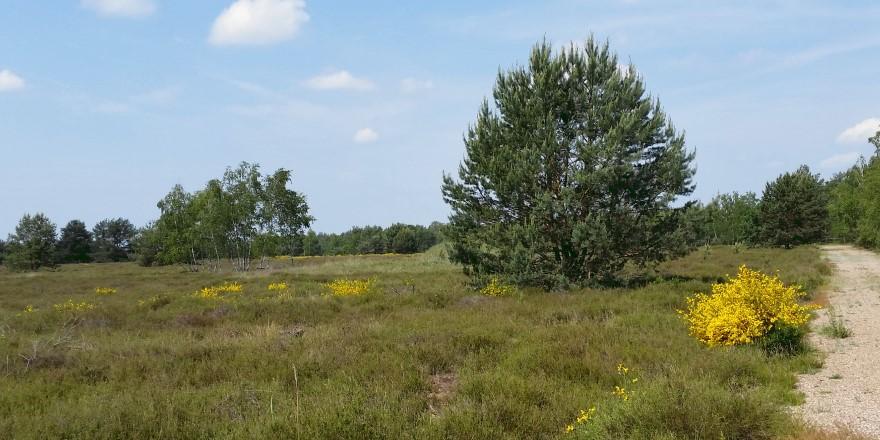 Auf dem Heidepfad in der Gohrischheide